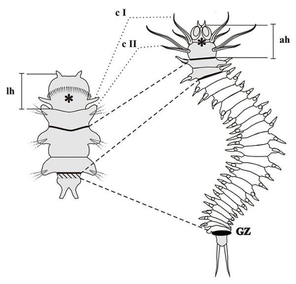 Рис.2. Личинка-нектохета (слева) и взрослый нереис (справа)
