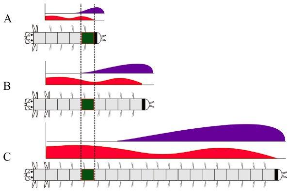 Рис.4. Изменения экспрессии двух Hox-генов водном постларвальном сегменте за время роста червя