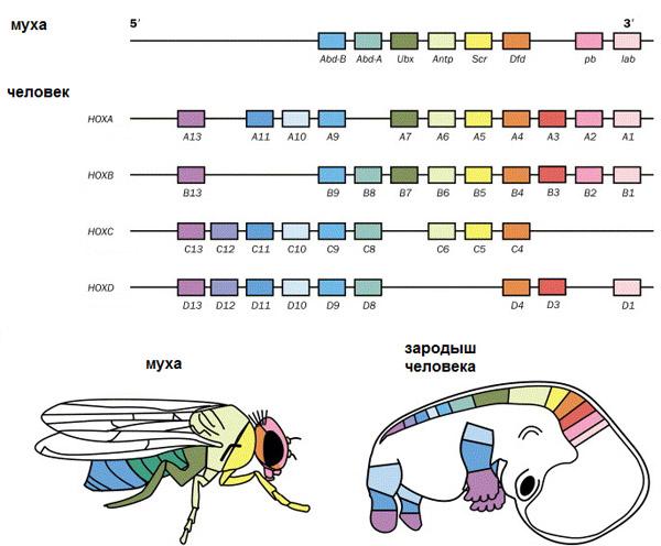У мухи один набор Hox-генов,