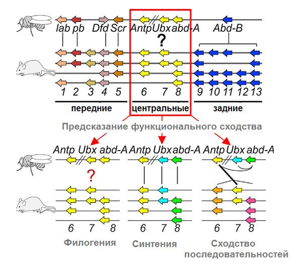 Центральные Hox-гены мухи и мыши