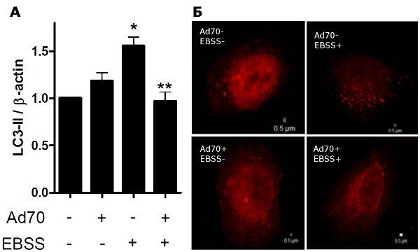Рис.1. HSP70 подавляет развитие аутофагии.