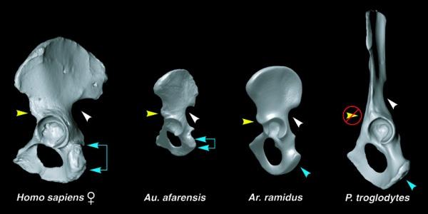 Строение таза, слева направо: человек, Люси, Арди, шимпанзе. Таз Арди имеет промежуточное строение между шимпанзе и австралопитеком. Из статьи Lovejoy et al. The Pelvis and Femur of Ardipithecus ramidus: The Emergence of Upright Walking