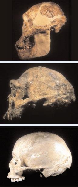 Сравнение мозга австралопитека, Homo erectus и Homo sapiens