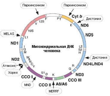 Картамитохондриальногогеномачеловека.Стрелочкамиобозначеныгены,связанныесмитохондриальнымиболезнями—синдромомMELAS(митохондриальнаяэнцефаломиопатия,лактатацидоз,инсультоподобныеэпизоды),синдромомMERRF(миоклонус-эпилепсиясразорваннымикраснымиволокнами)инейродегенеративнымизаболеваниями,такимикакатаксия(расстройствокоординациидвижений),хорея,дистония,заболеваниядвигательныхнейронов(MND,motorneurondisease)ипаркинсонизм.Изображениессайтаwww.innovitaresearch.org