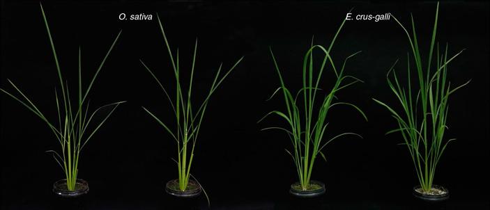 Вместе с рисом искусственному отбору подвергся и мимикрирующий под него сорняк