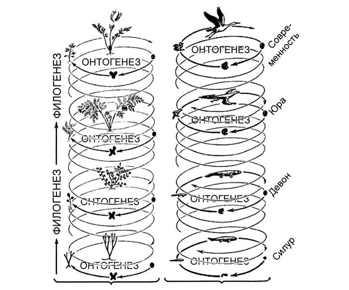 Рис. 1. Эволюционный процесс, слагающийся из переходящих друг в друга жизненных циклов