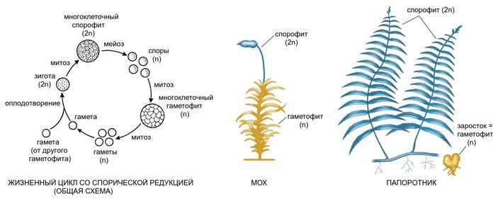 Рис. 2. Жизненный цикл со спорической редукцией, характерный для высших растений