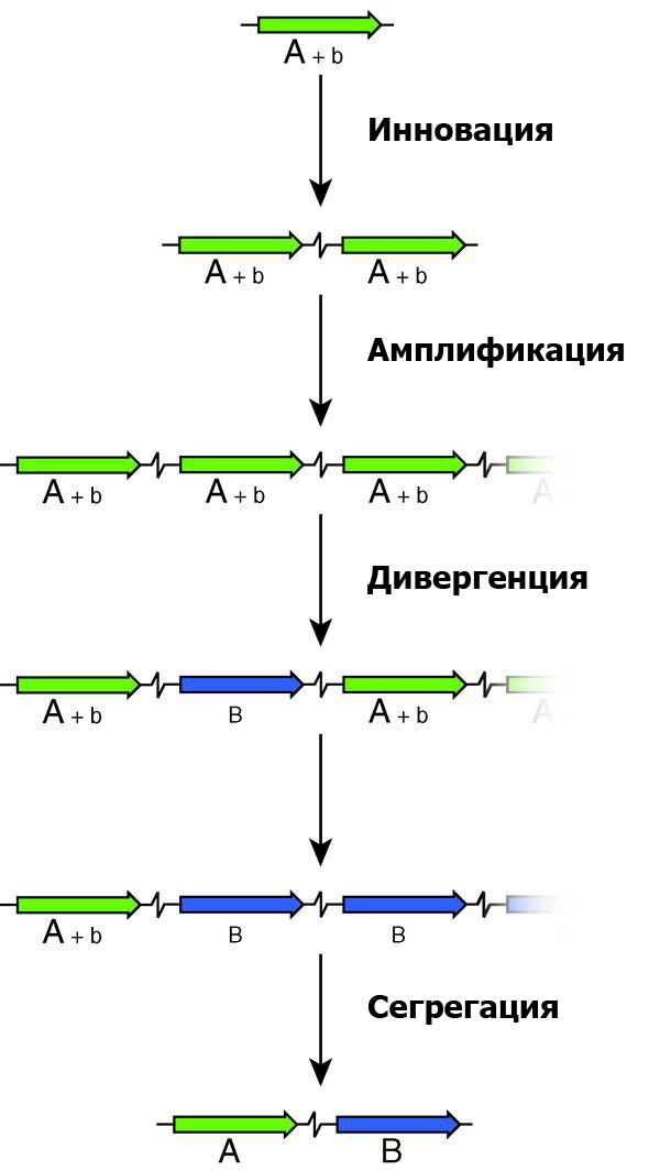 Образование нового гена по схеме «инновация— амплификация— дивергенция»