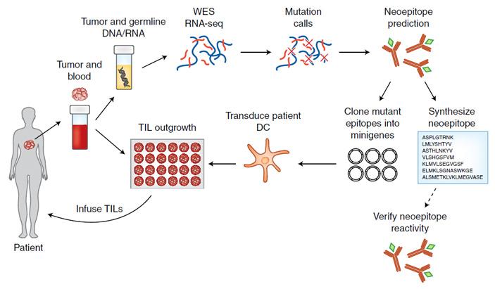 <b>Рис. 1.</b> Этапы адаптивной терапии опухоль-инфильтрирующими лимфоцитами