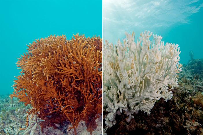 Рис. 3. Обесцвечивание кораллов