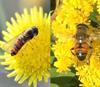 Мух-журчалок из разных регионов привлекают разные признаки цветков