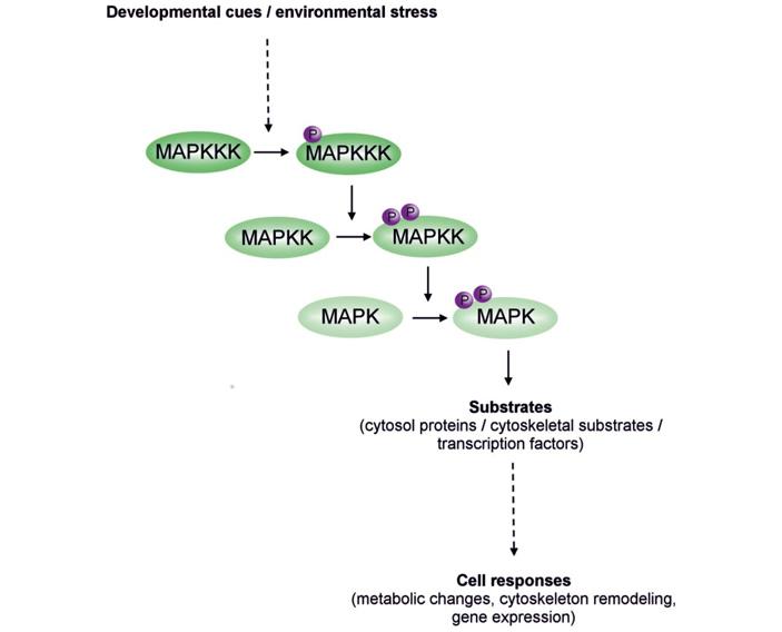 Регенерацию нейронов можно улучшить за счет снижения активности киназ