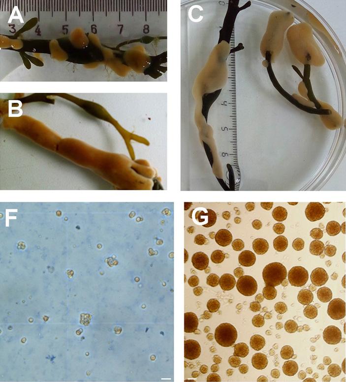 Встановлении многоклеточности важную роль играет белок нейроглобин