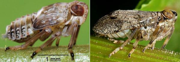 Рис. 1. Issus coleoptratus: нимфа (слева) и взрослое насекомое (справа)