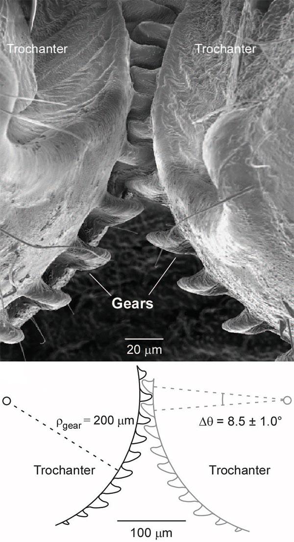 Рис. 2. Зубчатая передача между задними конечностями Issus coleoptratus