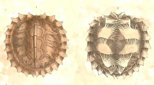 Рис.3. Панцирь черепахи Heosemys spinosa