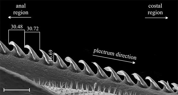 Рис.4. Равномерно расположенные зубчики на теле сверчка Gryllus bimaculatus используются как инструмент для звукоизвлечения