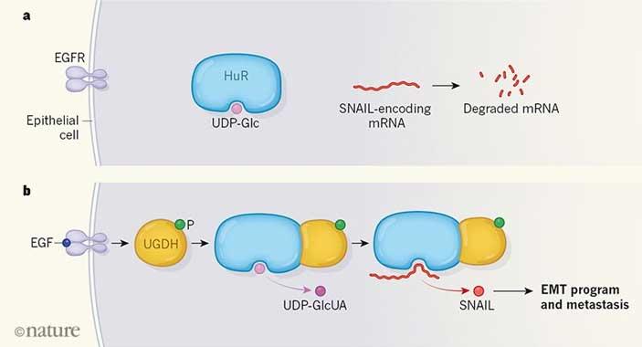 Роль уридиндифосфатглюкозы в нормальной эпителиальной клетке и в клетке аденокарциномы.