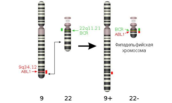 Рис.1. Перестройки хромосом при хроническом миелоидном лейкозе: 9-я и 22-я хромосомы обмениваются участками, врезультате чего образуется так называемая филадельфийская хромосома, несущая всебе ген белка BCR-ABL