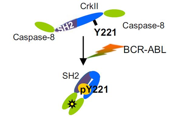 Рис.2. При фосфорилировании остатка тирозинаY221 в белкеCrk молекула i-Caspase-8 изменяет конформацию таким образом, что каспазы-8, обозначенные на схеме зелеными овалами, формируют димер