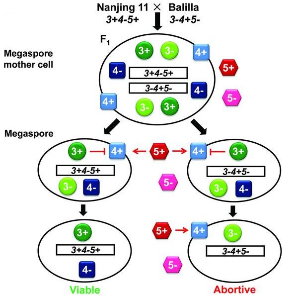 Схема, объясняющая пониженную плодовитость гибридного потомства от скрещивания сортов Nanjing11 (indica, генотип 3+4–5+) и Balilla (japonica, генотип 3–4+5–)