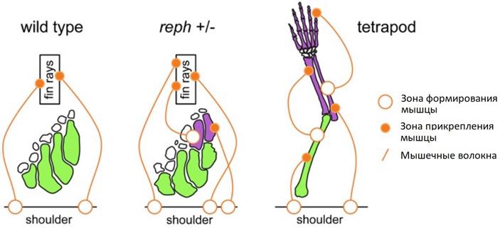 Для усложнения строения грудных плавников данио-рерио достаточно замены одного нуклеотида