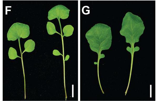 Листья Cardamine hirsuta: слева — норма, справа — результат мутации rco