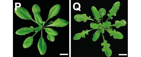 Ген RCO, вставленный в геном Arabidopsis thaliana, превращает простые листья в лопастные
