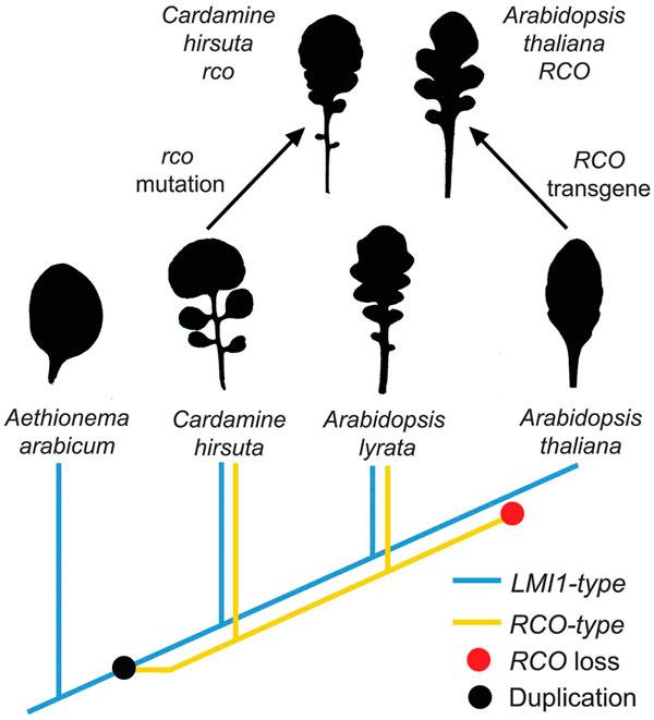 Эволюция формы листа у крестоцветных