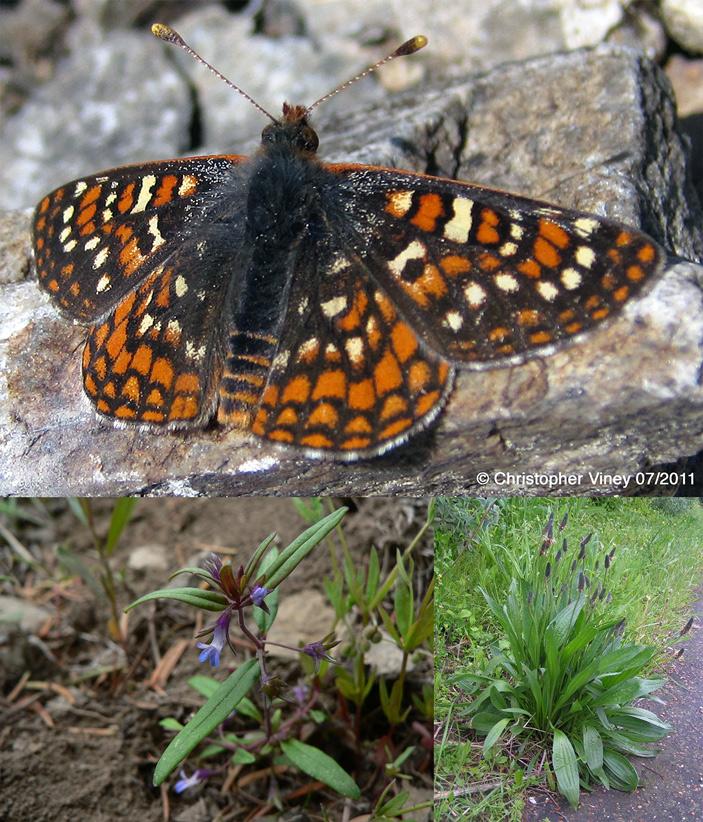 <b>Рис. 1.</b> Бабочка <i>Euphydryas editha</i> и ее кормовые растения