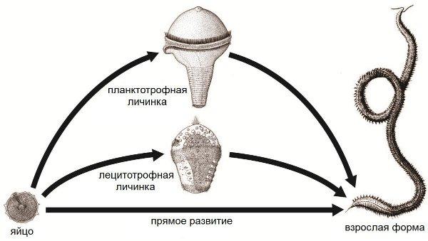 Рис.2. Три типа индивидуального развития животных.