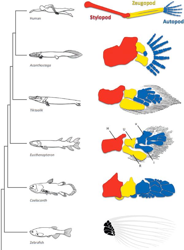 Рис. 1. Скелет конечностей некоторых позвоночных, включая базальных тетрапод