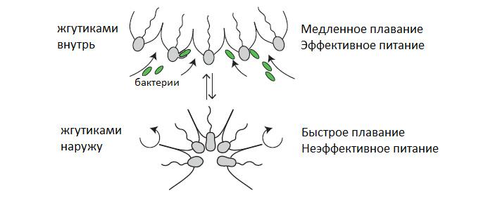 Колонии нового вида воротничковых жгутиконосцев втемноте выворачиваются наизнанку