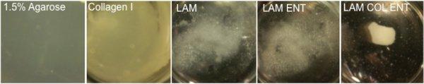 Рис.3. Компактный зачаток печени образуется лишь при выращивании клеток на подходящей подложке (рисунок справа)