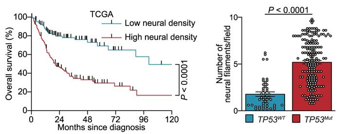 Потеря опухолью белка p53 способствует росту вней нервных волокон