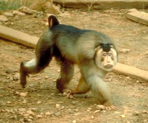 Макак лапундер macaca nemestrina — модельный