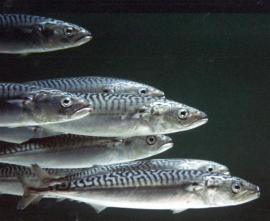 Кардиологи рекомендуют вареную и тушеную рыбу.