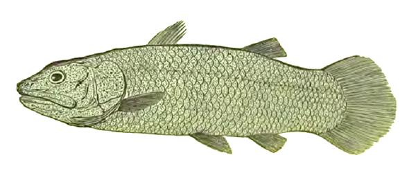 Рис. 2. Реконструкция кистепёрой рыбы Macropoma