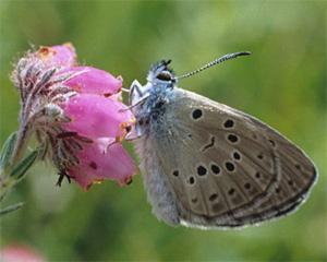 Бабочка Maculinea alcon - фото, описание, первооткрыватель, размах крыльев - butterflying.net.