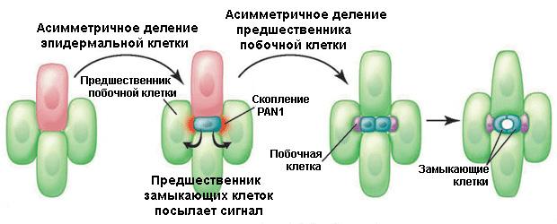 Схема развития клеток устьиц