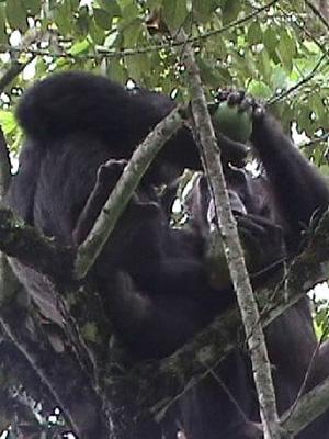 Самки шимпанзе иногда принимают от самцов гостинцы в обмен на секс. В эволюционной перспективе такое поведение может перерасти в прочные семейные связи. Возможно, именно это произошло с нашими далекими предками — но не с предками шимпанзе (см.: Шимпанзе воруют фрукты из чужих садов, чтобы соблазнять самок, «Элементы», 01.10.2007). Фото с сайта mahale.web.infoseek.co.jp