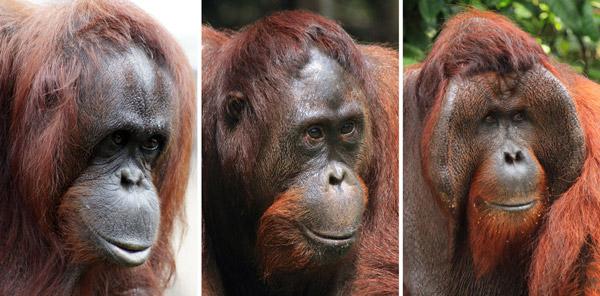 Рис. 1. Портреты орангутангов