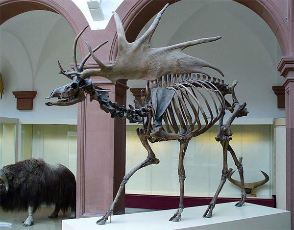 Скелет большерогого оленя (Megaloceros giganteus)