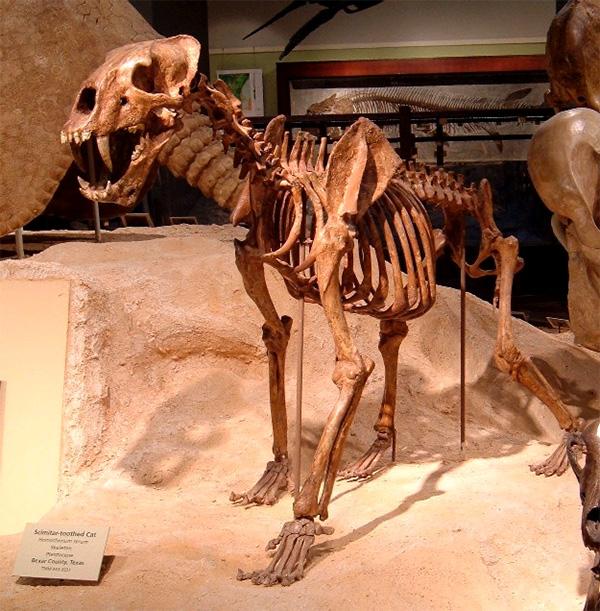 Скелет саблезубой кошки (Homotherium serum)
