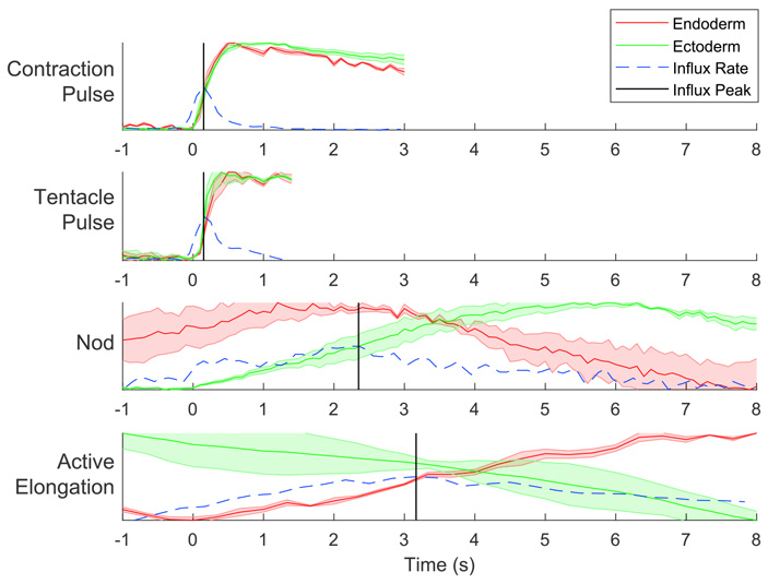 Рис. 6. Интенсивность флуоресценции и уровень притока ионов кальция через кальциевые каналы