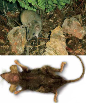 http://elementy.ru/images/news/marsupial_antechinus_stuartii_300.jpg