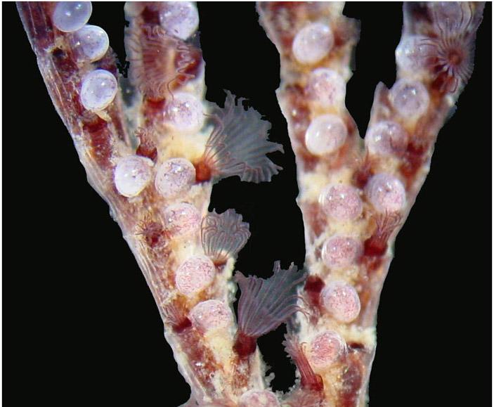 Рис. 2. Мшанка Bugula neritina