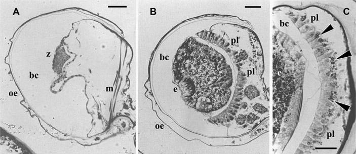 Рис. 3. Выводковая камера у мшанок Bugula flabellata и Bugula neritina
