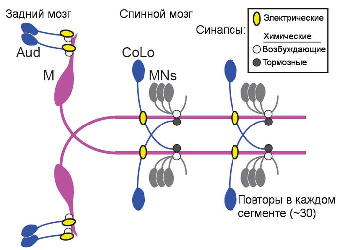<b>Рис.3.</b> Схема системы смаутнеровскими нейронами у рыбы <i>Danio rerio</i>