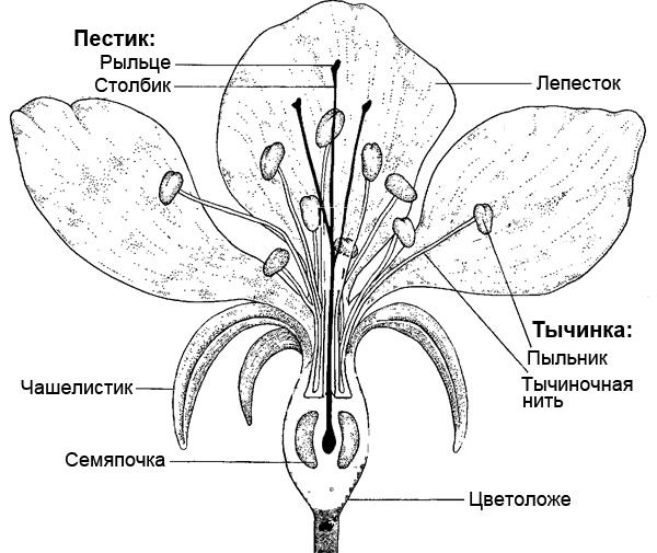 Схема строение цветов